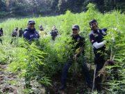 Aparat kepolisian sedang berada di ladang ganja yang ditemukan di Aceh Besar, selanjutnya memusnahkannya dengan cara membakar. (Foto/Ist)