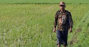 Seorang petani kembali dari sawahnya setelah melihat tanaman padinya yang terserang hama wereng dan sulit diselamatkan. Rabu (11/4/2018). (Foto/Muhammad Riza)
