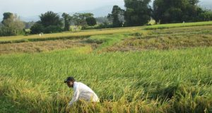 Salah seorang petani di Pidie Jaya sedang bekerja di lahan padinya yang sudah mulai menguning. (Foto/Al-Farizi)