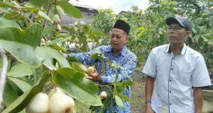 Seorang petani buah-buahan di Singkil, Samsir, menunjukkan pohon dan buah jambu madu yang berhasil dibudidayakannya. Buah jambu madu ini terasa manis, semanis madu. (Foto/Arief Helmy)