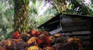 Tandan Buah Segar (TBS) sawit yang harganya terus merosot tajam di Nagan Raya dan daerah lainnya di Aceh. (Foto/Ist)