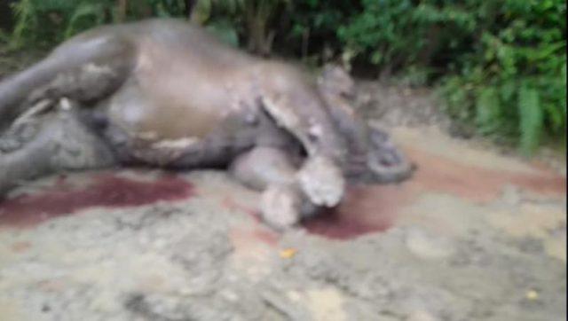 Inilah bangkah gajah liar berjenis kelamin betina yang ditemukan mati di kawasan pergunungan Krueng Tije Gampong, Blang Awe Kecamatan, Meureudu, Kabupaten Pidie Jaya, Kamis (15/11/2018). (Foto/Muhammad Riza)