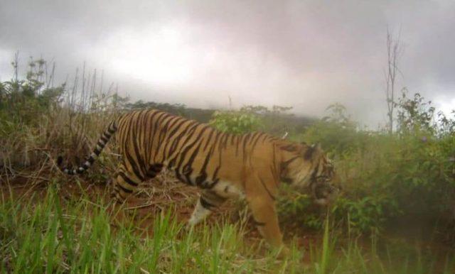 Harimau Sumatera yang berkeliaran di kawasan Pintu Angin Gunung Sekorong, Paya Dapur, Kluet Timur. (Foto/Ist)