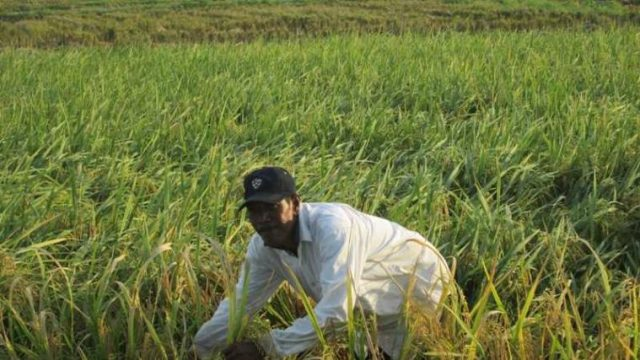 Lahan pertanian padi terbentang luas di hampir semua kabupaten di Aceh. (Foto/Dok Waspadaaceh.com)