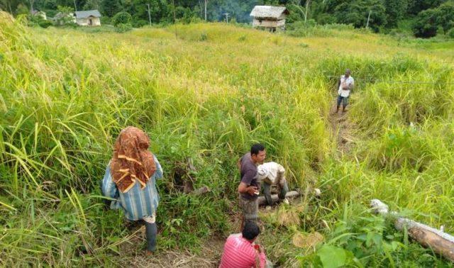 Petani Desa Krung Mangkom, Kecamatan Seunagan, melakukan pemotongan padi dengan alat tradisional ane-ane, Senin (31/12/2018). (Foto/Muji Burrahman)