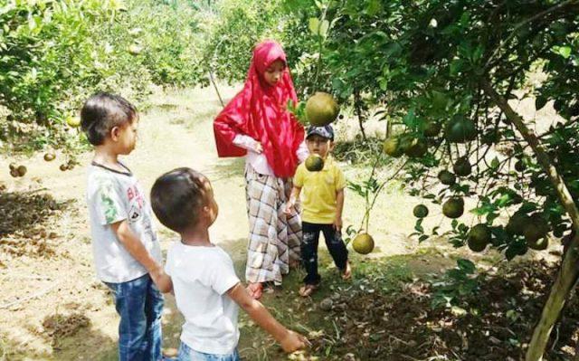 Tanaman jeruk Patek sudah mulai eksis kembali di Aceh Jaya. (Foto/Zammil)