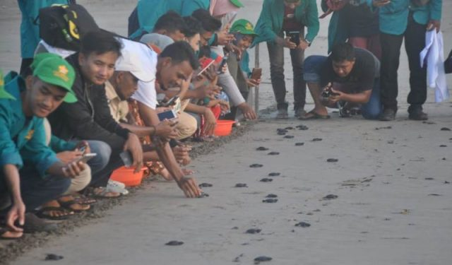 Pengunjung melakukan pelepasan tukik penyu di Pantai Desa Keude Panga, Kecamatan Pangan, Aceh Jaya. (Foto/zammil)