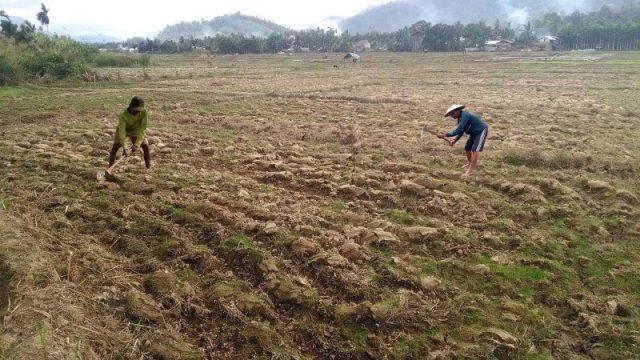 Areal persawahan di Desa Kampung Sawah, Kecamatan Kluet Tengah, Aceh Selatan, yang mengalami kekeringan. (Foto/Faisal/Kompilasi-Ist))